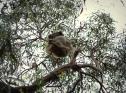 Koalas en Raymond Island